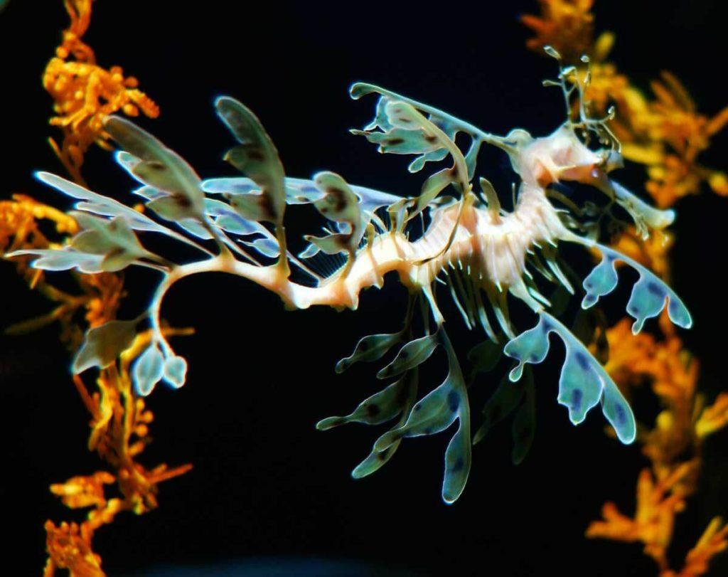 yapraklı deniz ejderhası görseli